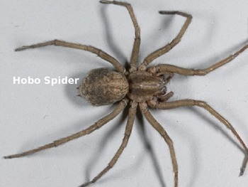 Hobo Spider - Power Point - Information Facts Pictures