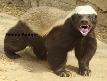 Honey Badger - Power Point Information Pictures Facts History