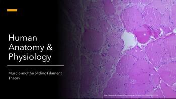 Human A&P Muscle & Sliding Filament Theory Presentation