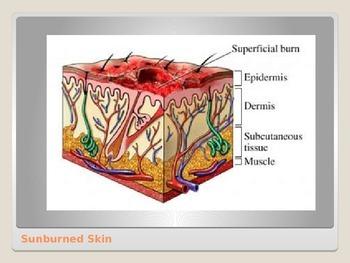 Anatomy - Human Body - Integumentary System