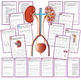 Human Body Interactive Notebooks, Warm Ups: Excretory System