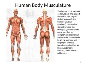 Human Body Musculature PPT