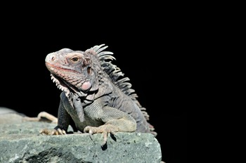 Iguana on a Black Background