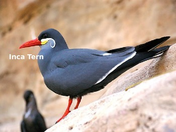 Inca Tern - Bird - Power Point Information Facts Pictures