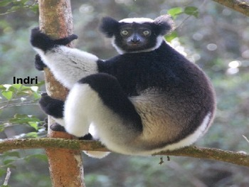 Indri - Endangered Lemur - Power Point - Information Facts