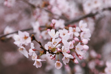 Japanese photos - Cherry blossoms