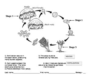 Jellyfish Life Cycle Lab