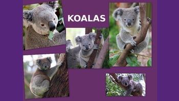 Koala Information PowerPoint