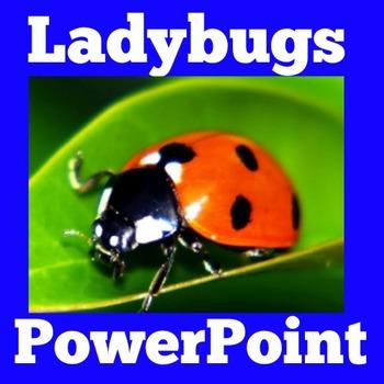 Ladybugs PowerPoint   Ladybugs Activity