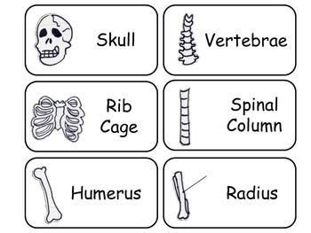 Learn Your Bones Flash Cards. Preschool Human Anatomy flas