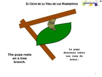 Life Cycle of Ladybug Bilingual Lesson
