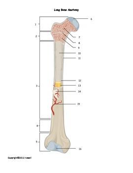 Long Bone Anatomy Quiz or Worksheet