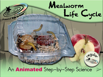 Mealworm Life Cycle - Animated Step-by-Step Science Project