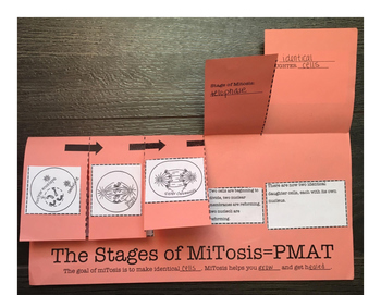 Mitosis Foldable Worksheet and Interactive Notebook Card S