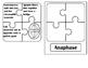 Mitosis Puzzle Pieces Practice