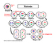 Mitosis and Meiosis Worksheets and Diagrams