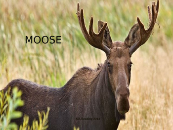 Moose - Power Point - Information Facts Pictures