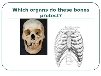 Muscular, Integumentary, and Skeletal Systems