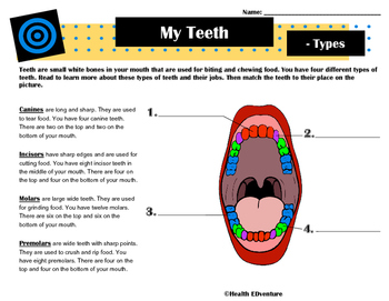 About Teeth: Canines, Incisors, Molars and PreMolars