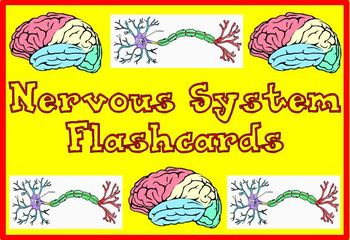 Nervous System Flashcards