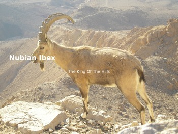 Nubian Ibex - endangered - Power Point - Information Pictu