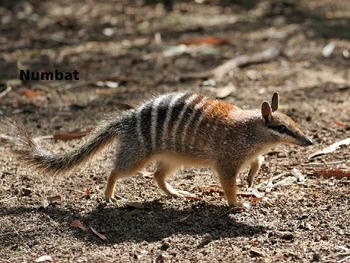 Numbat - Power Point - Information Facts Pictures
