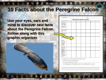 PEREGRINE FALCON: 10 facts. Fun, engaging PPT (w links & f