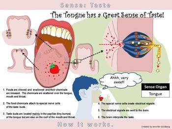 POSTER: Sense of Taste: Simple Version (Sense Organ - Tongue)