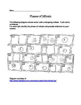Phases of Mitosis Worksheet