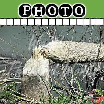 Photo: Beaver Damage to Tree