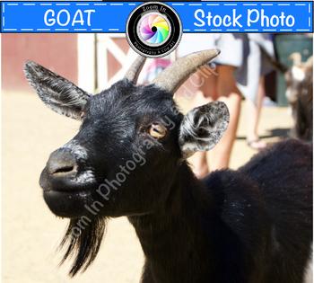 Stock Photo: Goat