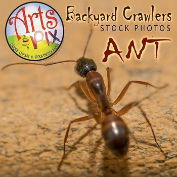 Photograph - Ant - insect - stock photo