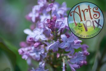 Photograph - Lilac - flower