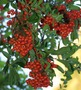 Photographs AUTUMN BERRIES Photos Fall