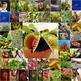 Photos Photographs CARNIVOROUS PLANTS - Venus Flytrap