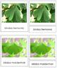 Plant Kingdom: Division Ginkgophyta