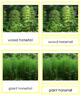 Plant Kingdom: Division Sphenophyta (color borders)