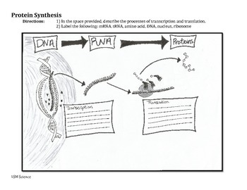 Protein Synthesis Graphic Organizer