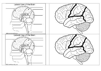 Psychology - Brain Labelling Worksheet