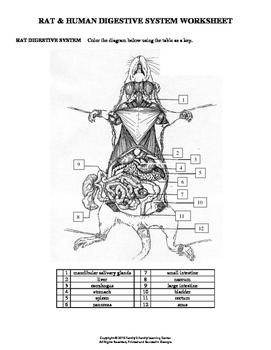 Rat & Human Digestive System Worksheet