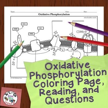 Cell Respiration Activity: Oxidative Phosphorylation Color
