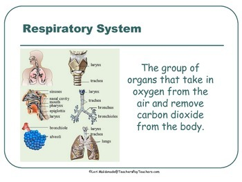 Respiratory System: PowerPoint Presentation