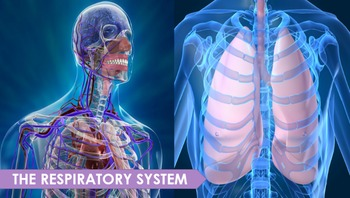 Respiratory System PowerPoint Presentation