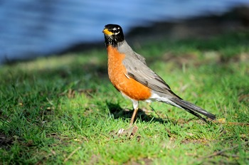 Robin Hunting for Food