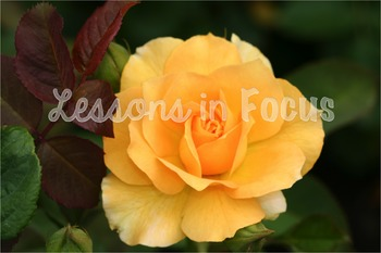 Roses Photo Bundle-by Lessons In Focus