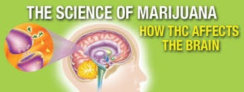 Scholastic Marijuana and the Brain