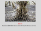Science - Mangroves - life cycle