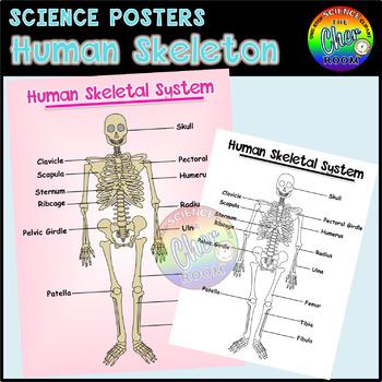Science Posters: Human Skeleton