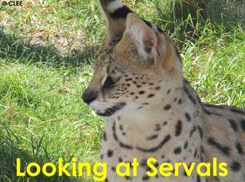 African Cats: Serval - PDF Presentation