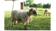 Sheep Pictures Collection